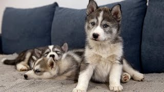 Husky puppies get acquainted with adult dogs | Cute Puppy videos