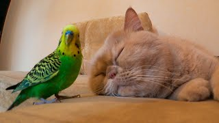Funny bird sticks to a sleepy cat😁