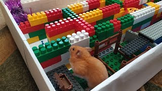 Hamster plays in the maze for hamsters. Funny hamster video 2020