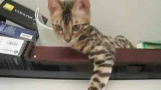 Funny Bengal Kittens