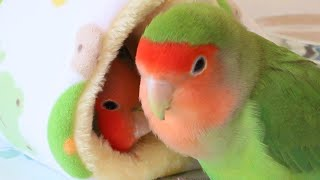 Funny Birds Videos Compilation Cute Moments of the Cutest Parrots – Cute Parrots #1