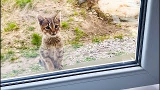 Starving street kitten asks to open the window and feed him