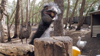 Crazy Emu goes Viral Australian Birds Hungry Funny Animals Lol Australia
