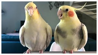 Best Cockatiel Talking and Singing Companion 2020 – talking birds # 12