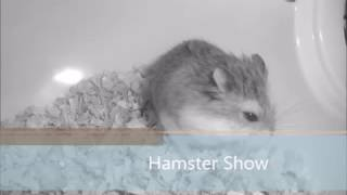 Cute and funny hamsters/Hamster show/ Dwarf Hamster show