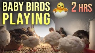 Baby Birds Playing, Eating and Sleeping ! 🐤 2 Hours of Cute Baby Birds🐥