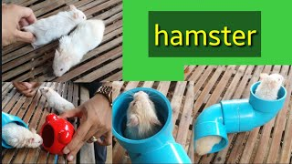 funny hamster, hamsters videos, 2 Hamster funny hamsters video, hamster, hamsters, hamster playing.