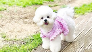 Cutest Bichon Frise Dogs Video Compilation