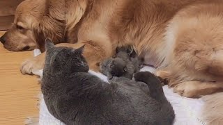 Sweet Golden Retriever Comforts Mama Cat and Her Newborn Kittens