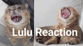 Reactions Of LuLu | cute cat compilation #59 | kittisaurus Animal