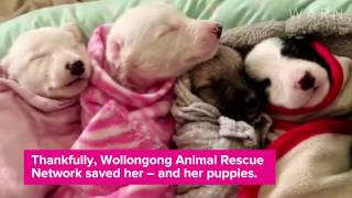 Lily and her beautiful greyhound puppies