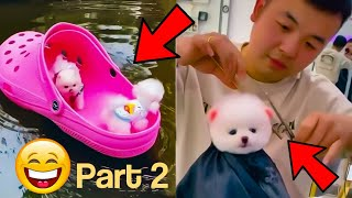 Funny puppies | Cute puppy videos compilation | teacup pomeranian puppies part-2
