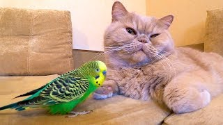 Cat loves and is friends with the bird. Funny animals😍
