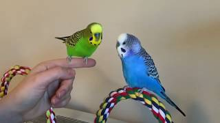 Kiwi the parakeet repeats cute nothings (talking bird)