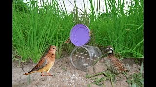 Awesome Quick Bird Trap Using Plastic Bottle – How To Make A Bird Trap With Plastic Bottle That Work