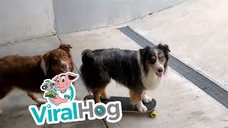 Two Cute Dogs with a Skateboard || ViralHog