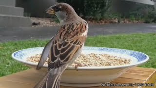 Garden Birds –  House Sparrow attack backyard -Funny House Sparrow For Babies & Children to watch