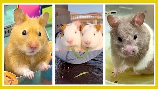 😍 CUTE FUNNY HAMSTERS | Tik Tok cute moment of the animals | Videos Compilation | Cutest Animals 😍
