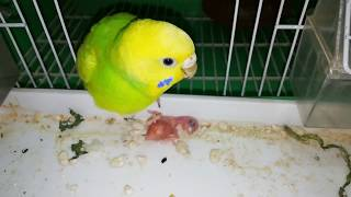 Budgie Parrots | Love Birds Become Insane/Mad To Save Their Babies/Chick's Bring Back To His Nest