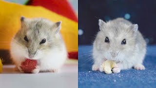 Funny and Cute Hamster Compilation 🐭 #23 – Cutest Hamster In The World 2020 | DORA HAMSTER