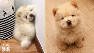 ChowChow – Cute and Funny Moments 😍 – CuteVN