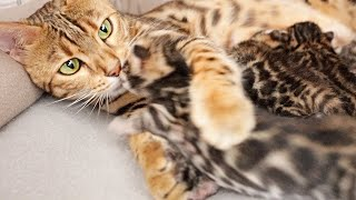 Mama Cat Slabs Her Paws Around Her Kitten to Make Sure she is Fine