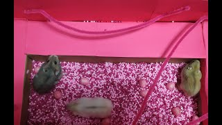 Funny Hamsters in the Rainbow Jungle Hamster Maze