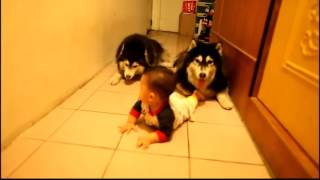 Cute Dogs Mimic Baby Crawling