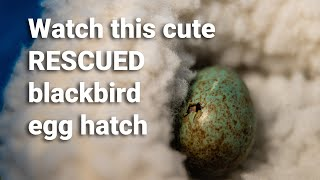 CHECK THIS CUTE BIRD : A RESCUED Blackbird Egg is Hatching – Timelapse Video of an Egg Hatch