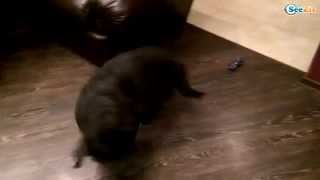 Funny Dogs – Dancing Labrador – Fluffies!