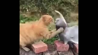 PIGEONS Are Such FUNNY BIRDS – Cute And Funny Pigeon Videos Compilation 2020