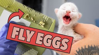 Ugh. These Kittens Are Covered in Fly Eggs! (Learn what to do & how to help!)