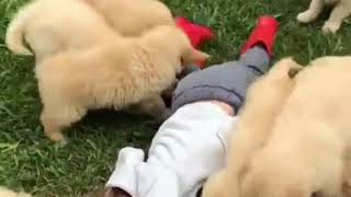 Golden Retriever Puppies Launch Cuteness Attack on Toddler