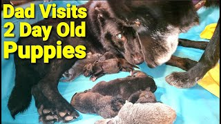 Dad Visits 2 Day Old Puppies – New Lycan Shepherd Litter
