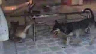 Funny Dogs:  Sprite and Lizzie Play Laser Tag