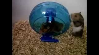 Two funny hamsters fight trying to spin in a wheel