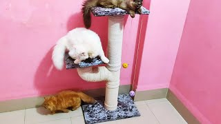 ✅ Cute Cats Playing with Cat Tree Toy Funny Cat Videos Cat Dance Mithai Oreo Arial Kitty Cat Live