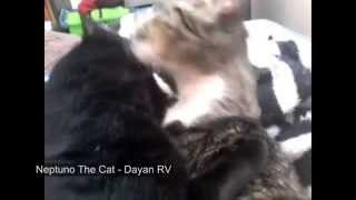 Funny cats cuddling, kissing and licking each other A LOT!!!