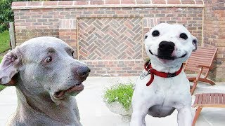 Try Not To Laugh Funny Dogs Clean – The Most Funniest Dog Videos In The World   Cute And Funny Dogs
