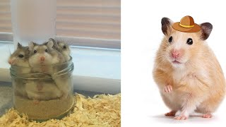 Funniest Hamsters Of All Time   Dora Hamster Cute