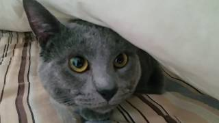 Cute Cat under the blankets.
