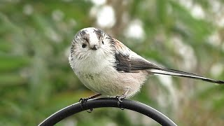 Long-tailed Tit Birds Close Up : Cutest Bird Ever – Filmed in Slow Motion