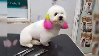 Cute dogs after grooming | Poodle