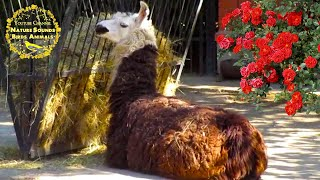 Cute Alpaca and Llama animal farm. Funny Lama glama girl song, voice, noise, sounds, call, eating
