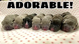 7 PUPPIES *INSANE* Exotic BULLY! C-SECTION!