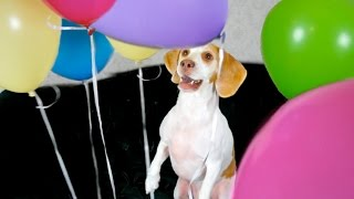 Dog Surprised with Balloons: Cute Dog Maymo