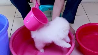 First Cute Pomeranian Puppy Bath | Funny Dogs Puppies | Min Puppy #6