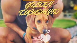 GOLDEN DACHSHUNDS PLAYFUL FUNNY VIDEOS   TRY NOT LAUGH CUTE  DOGS  FUNNY VIDEOS