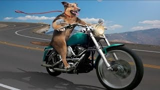 Funny Dogs Riding on Motorcycles + Bonus Dogs Hate Kisses – Funny Dogs Videos, Funny Animals