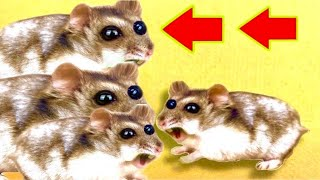 🐹4 Monster Hamster Maze with Traps😱[OBSTACLE COURSE] + FUNNY HAMSTER